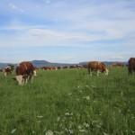 die schönen Uria-Rinder !