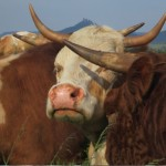 Horntragende Uria-Rinder!