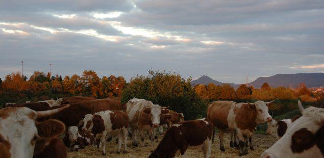 URIA-Rinder in der Landesschau Baden-Württemberg