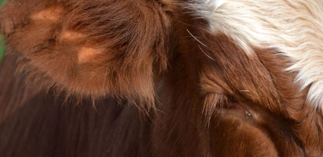 Teilerfolg für Uria im Ohrmarkenkonflikt zum Wohl der Rinder