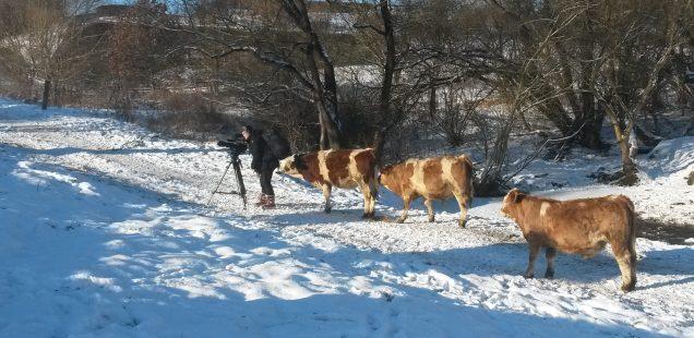 Dreharbeiten in Ostdorf, Uria-Rinder sind Hauptdarsteller, Artikel im Schwarzwälder Bote