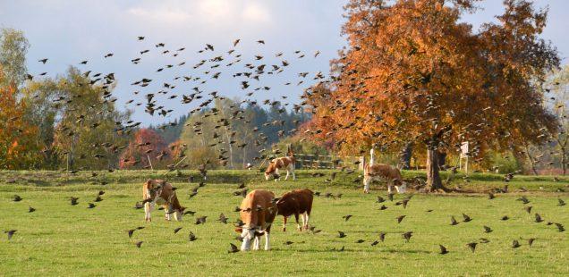 Uria-Rinder sind Vogelschützer