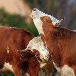 Ziemlich wilde Rinder nominiert auf Green Screen Naturfilmfestival