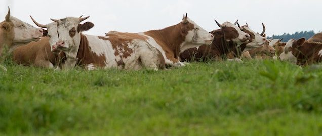 Die glücklichen Rinder vom Uria-Hof