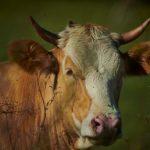 radioWissen                              Die Kuh - Nutztier und Kultfigur